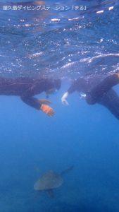 目の前にウミガメが!屋久島でシュノーケリング
